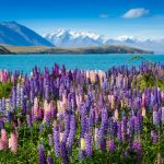 Majestic-mountain-lake-with-lupins-blooming-Lake-Tekapo-New-Zealand