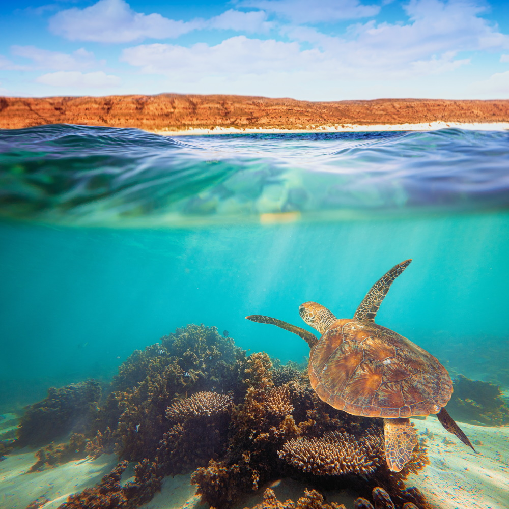 Turtle-swimming-underwater-on-the-Ningaloo-Reef-Western-Australia