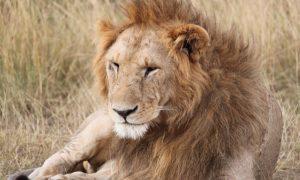 Africa-Safari-Tanzania-wildlife-big-cat