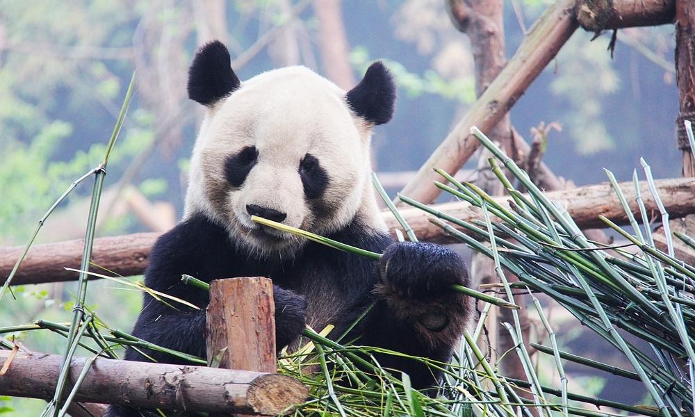 Black-and-white-Chengdu-Panda-China