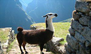 Cusco-Machu-Picchu-Peru-Llama