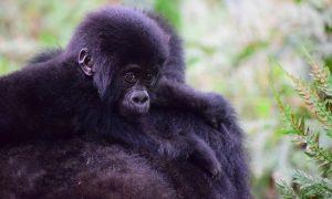 Uganda-Africa-mountain-baby-gorillas-primate