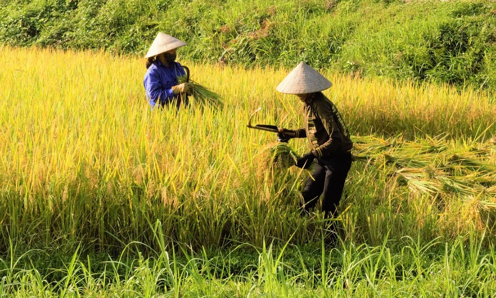 Vietnam-Rice-Fields-Folk