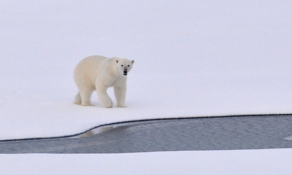 White-polar-bear-on-ice-arctic-white
