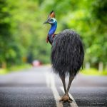 cassowary-wildlife-daintree-rainforest-queensland-australia