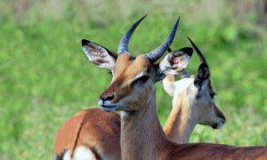 south-africa-antelope-nature-africa-mammals-fauna-kruger