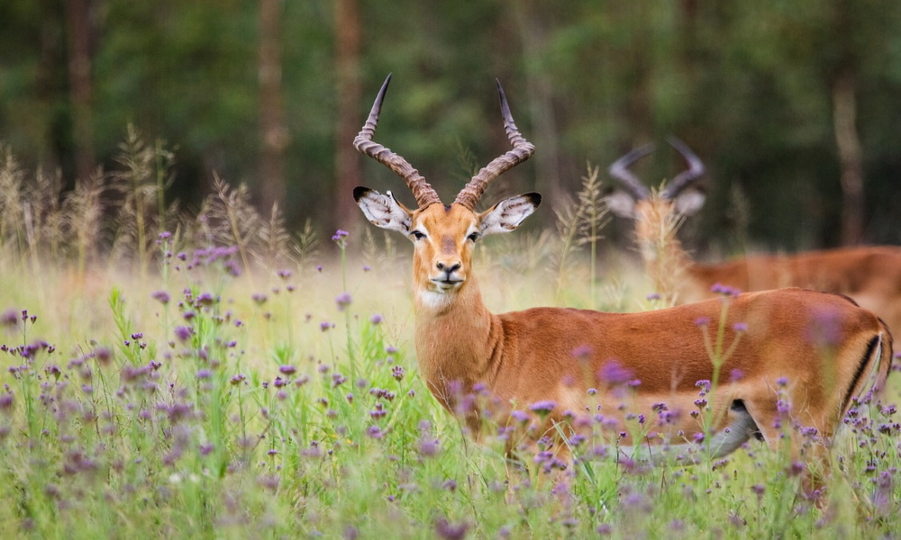south-africa-impala-rams-deer-field-flowers
