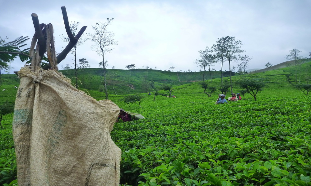sri-lanka-ceylon-tea-fields-tamils