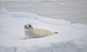white-seal-antarctica-iceberg-ocean